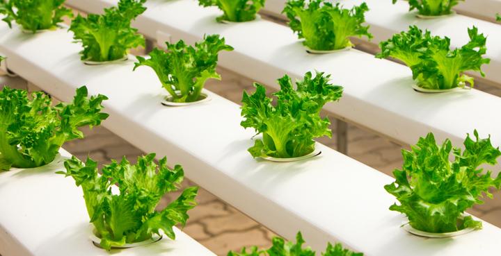 agricultura sostenible albahaca cultivo