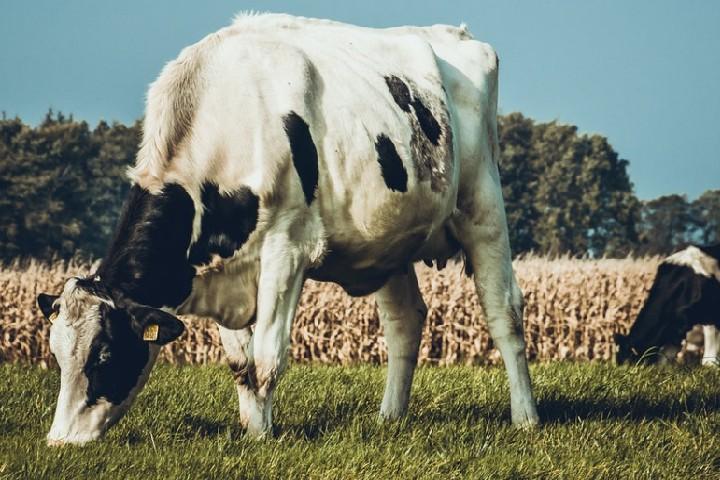 vaca pastando campo verde