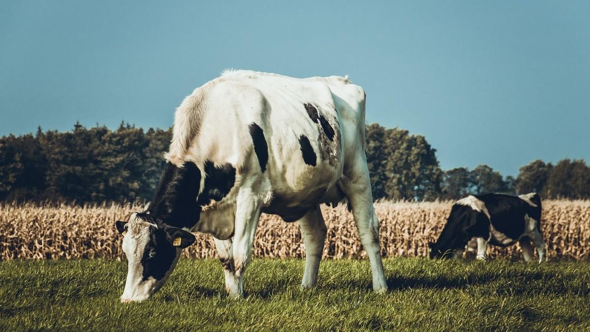vacas pastan campo verde capsa vida