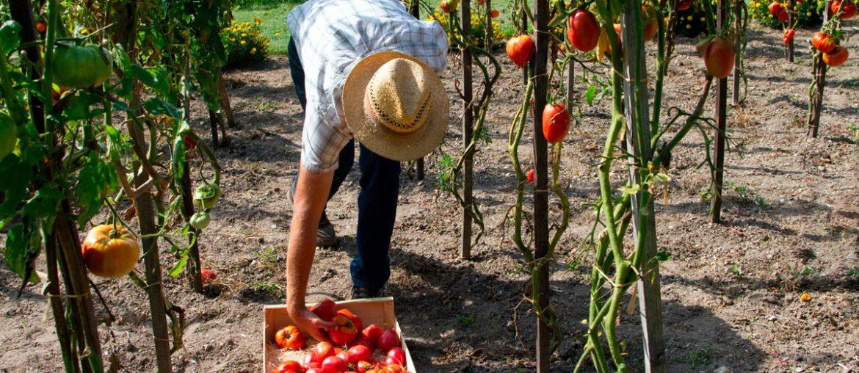 agricultor recogiendo tomates