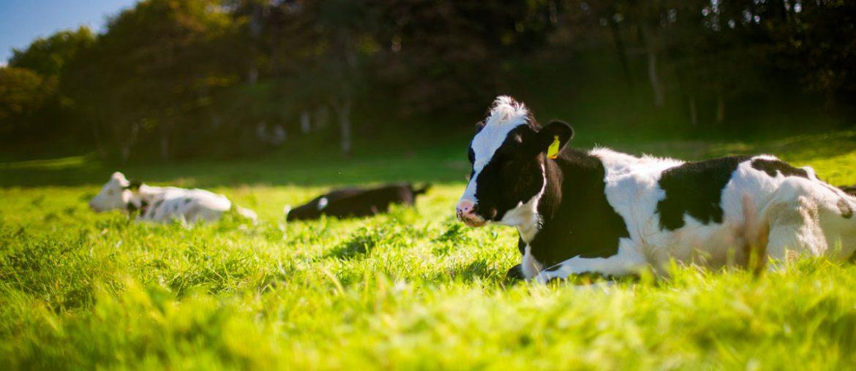 vacas tumbadas en el prao verde