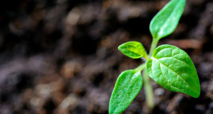 cultivo brotando del suelo cultivado